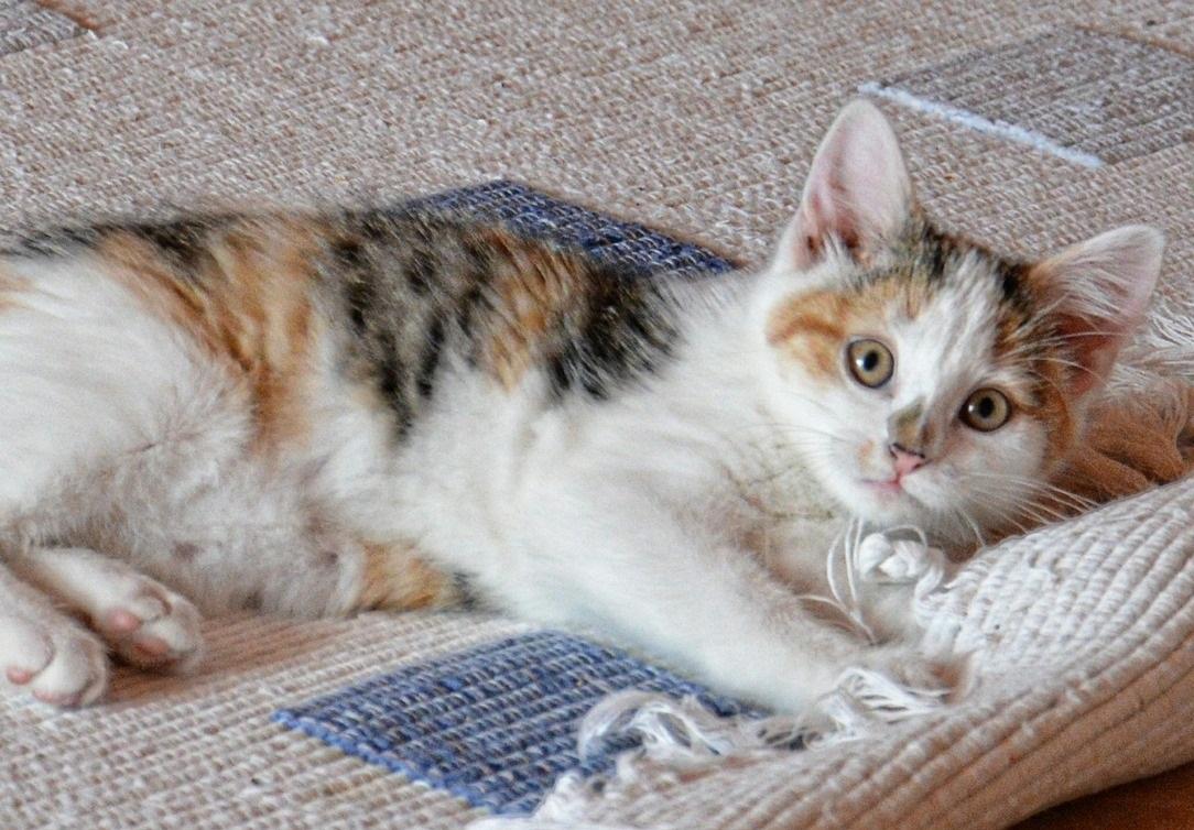 Limpia tu alfombra de pelos de mascota gato perro